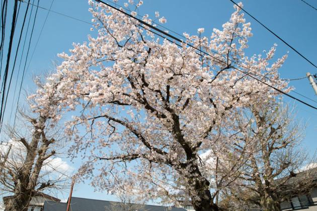 「サクラ」の桜
