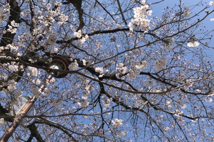 やなわらばーの「サクラ」の桜